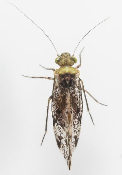 Barklice - Trichadenotecnum alexanderae