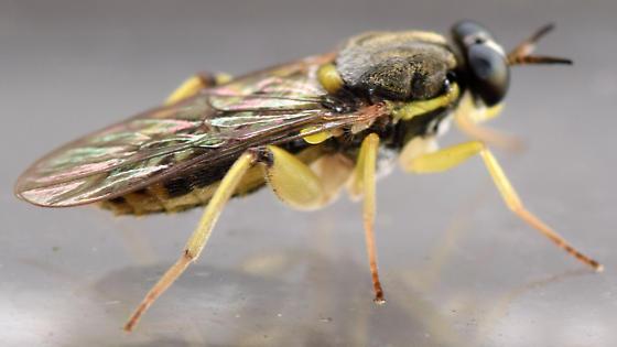 xylomyid fly - Solva pallipes - female