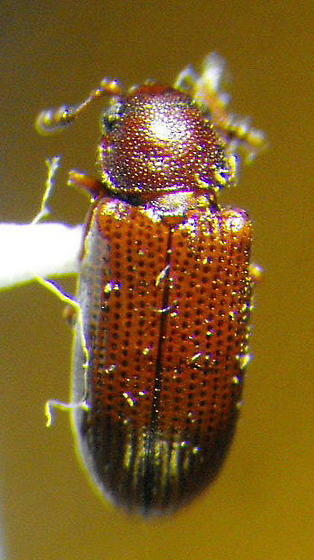 Unknown Beetle 5 - Odontosphindus clavicornis