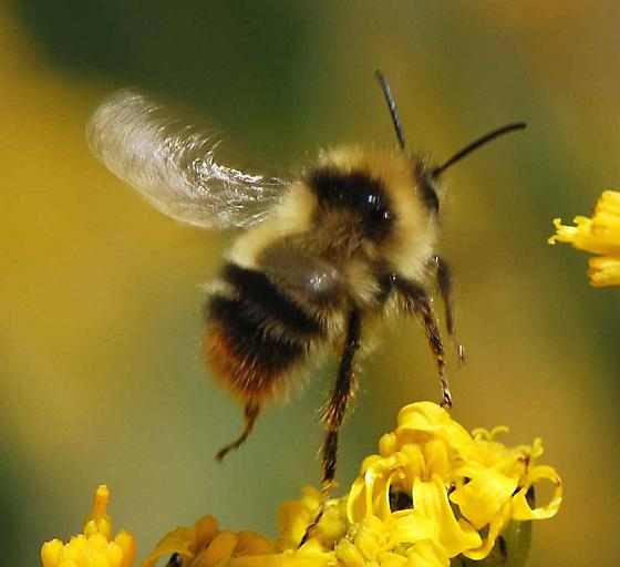 bee for ID - Bombus frigidus - male