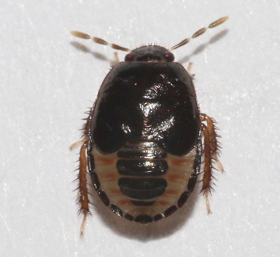 Burrowing bug nymph