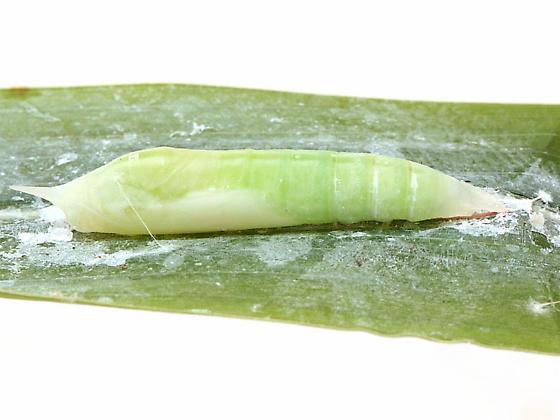 Lerema accius chrysalis  - Lerema accius