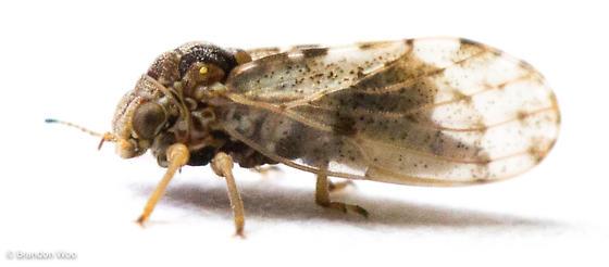 Pachypsylla