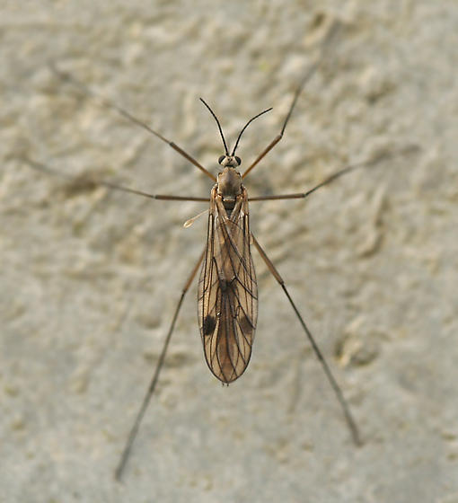 fly - Cramptonomyia spenceri - female