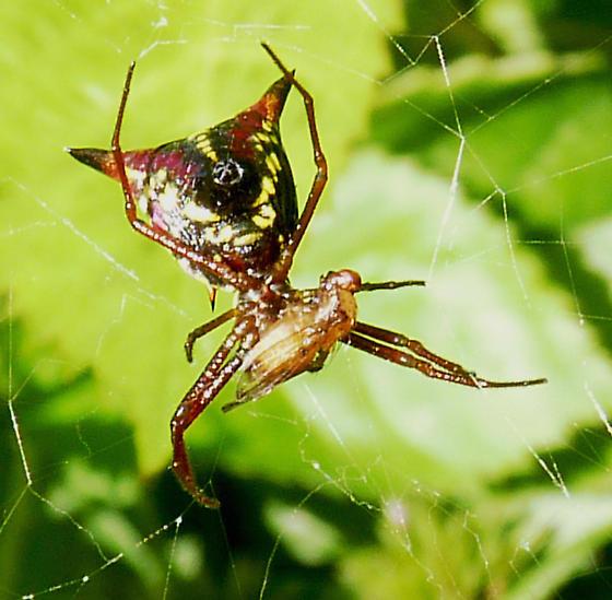 Spider:  Arrow-shaped Micrathena (Micrathena sagittata) ? - Micrathena sagittata