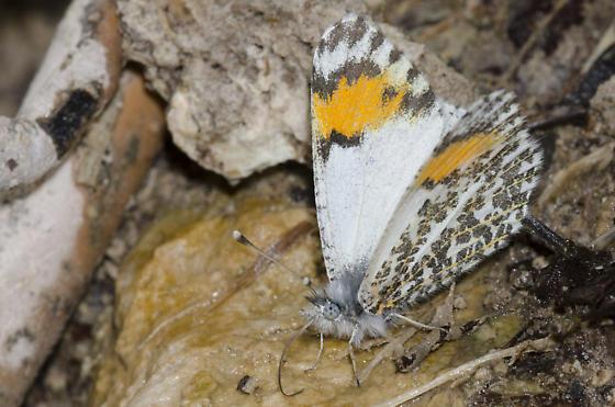 Southwestern Orangetip - Anthocharis thoosa - female
