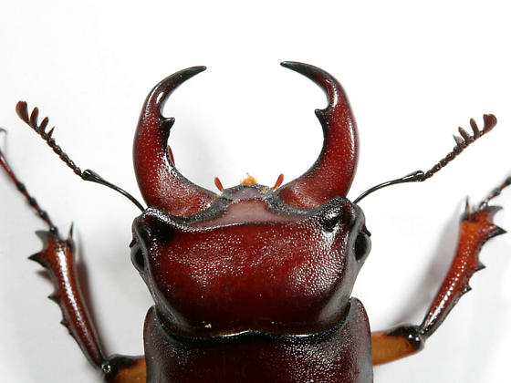 Reddish-brown Stag Beetle--head - Lucanus capreolus - male
