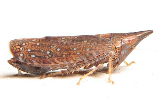 Scaphytopius  - Scaphytopius rubellus