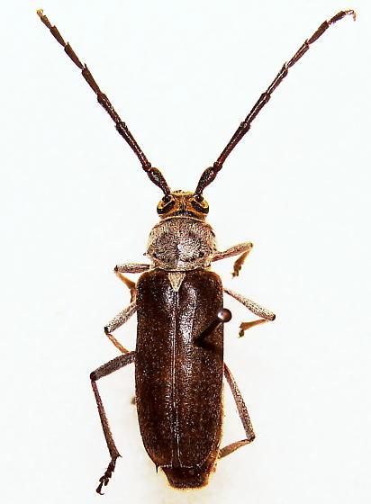 Gnaphalodes trachyderoides Thomson - Gnaphalodes trachyderoides