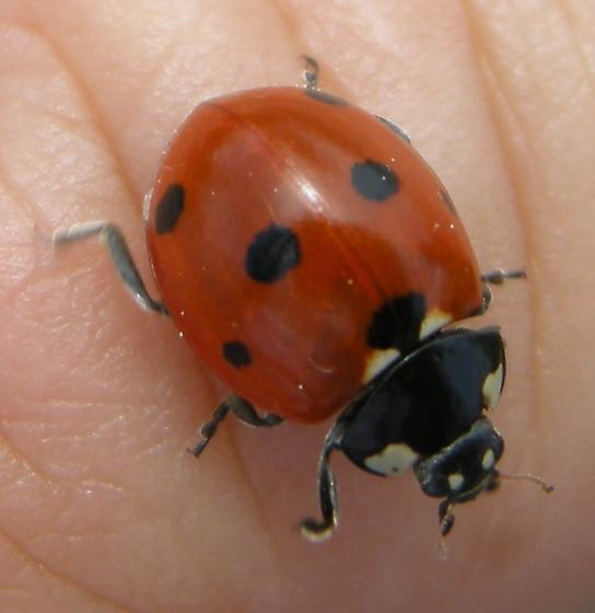 Seven Spotted Lady Beetle - Coccinella septempunctata