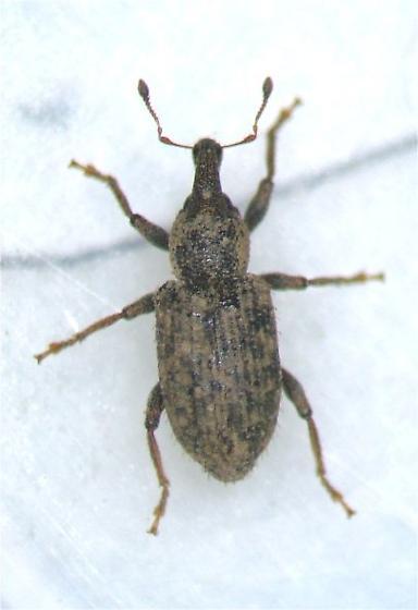 Listronotus - Listronotus humilis