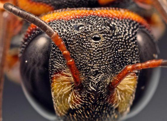 head; ocellar area and antenna - Anthidiellum perplexum