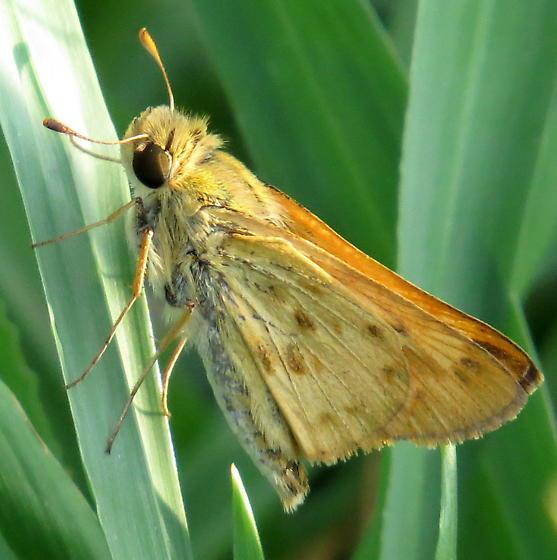 Hylephila phyleus - Fiery Skipper - Hylephila phyleus