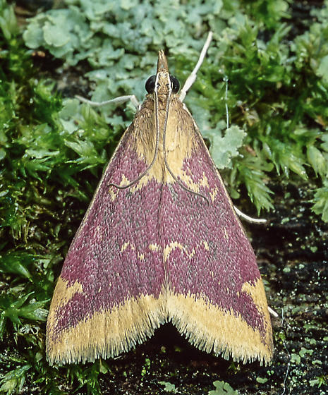 Pyrausta for ID - Pyrausta pythialis