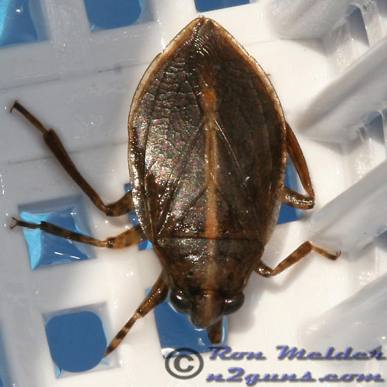 Water Bug - Belostoma