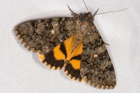 Andromache Underwing Moth (Catocala andromache) ? - Catocala andromache