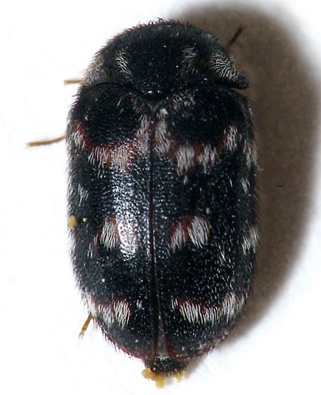 Dark Patterned Beetle - Paranovelsis