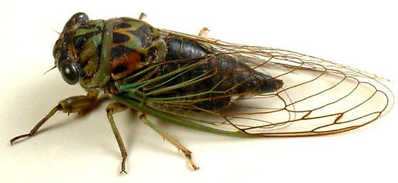 Tibicen sp. cicada - Neotibicen canicularis
