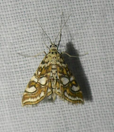 small colorful moth - Elophila ekthlipsis