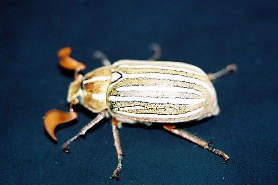 Ten-Lined June Beetle (polyphylla decemlineata) - Polyphylla decemlineata