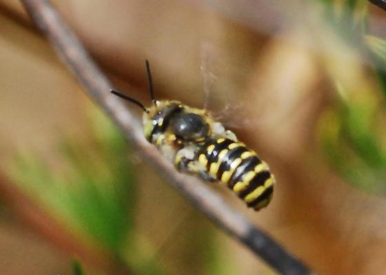 Accidental bee - Anthidium