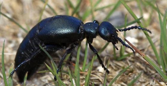 Meloe - Oil Beetle - Meloe niger - female