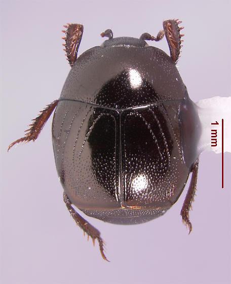 Xerosaprinus (s.str.) orbicularis (Marseul 1855) - Xerosaprinus orbicularis