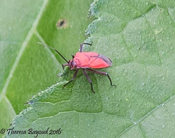 red bug - Lopidea