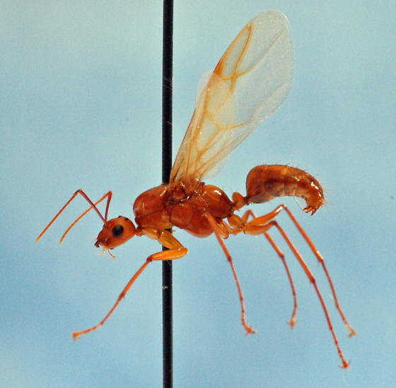 Ant Reproductive - Camponotus castaneus - male