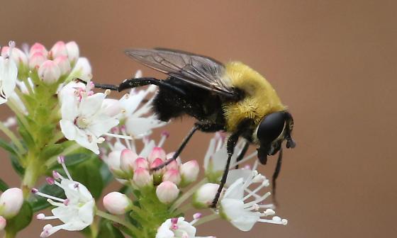 Convincing Bumblebee Mimic - Mallota?? - Mallota bautias