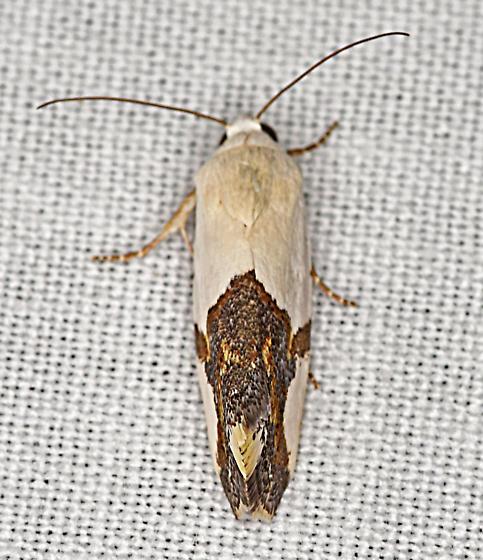 Moth, dorsal - Ponometia cuta