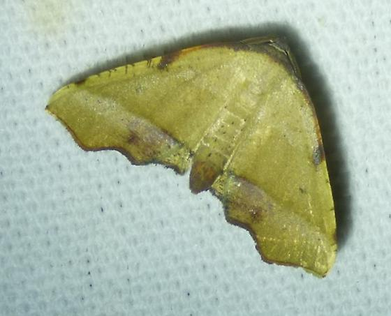 Plagodis fervidaria - Fervid Plagodis - Plagodis fervidaria