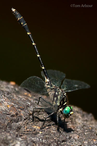 Small Clubtail from Crooked River Maine - Stylogomphus albistylus