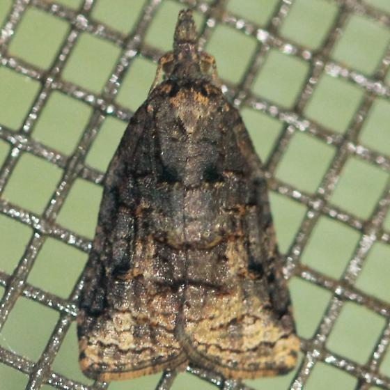 Omnivorous Leaf-roller - Hodges#3736 - Dorsal - Platynota stultana