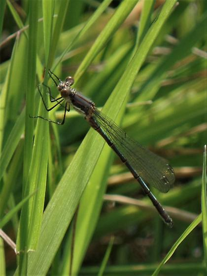 I think this is a Black Spreadwing. - Lestes stultus