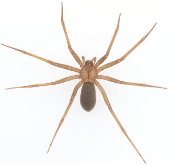Brown Recluse - Loxosceles devia
