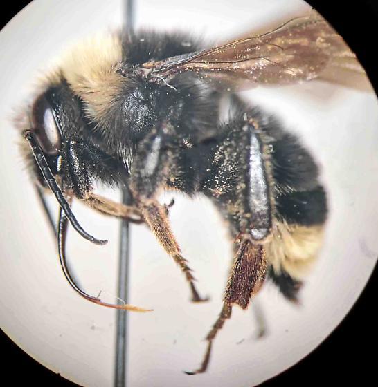 Bumble bee - Bombus californicus - male