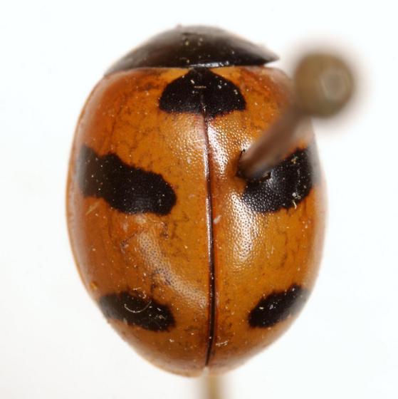 Coccinella monticola (Mulsant) - Coccinella monticola