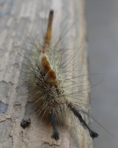 Douglas Fir Tussok Caterpillar - Orgyia pseudotsugata
