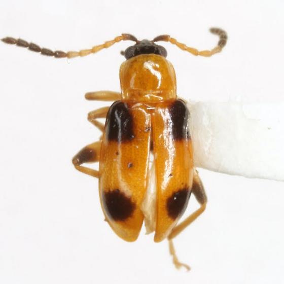 Cornulactica varicornis (Jacoby) - Cornulactica varicornis