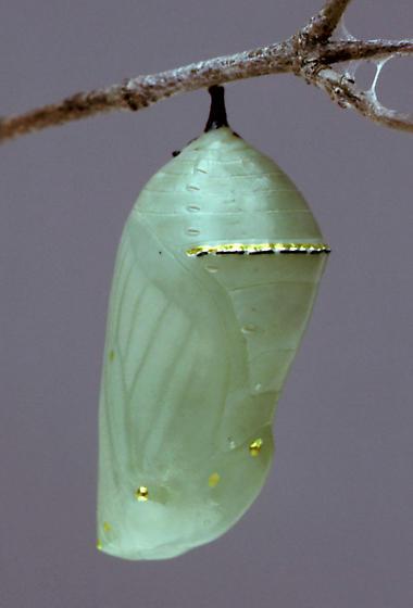 Monarch--chrysalis - Danaus plexippus