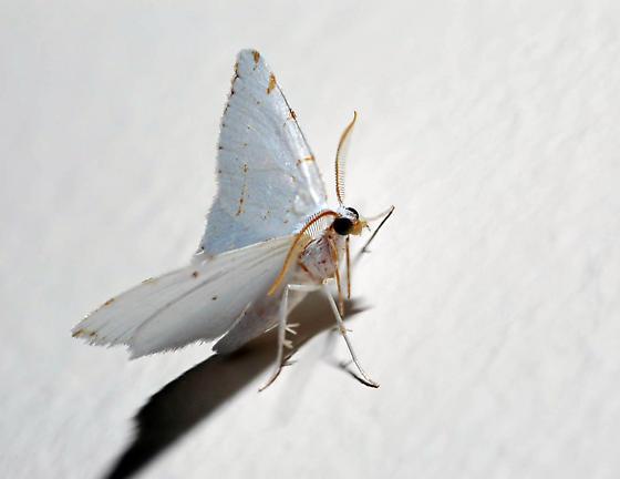 Moth - Macaria pustularia - male