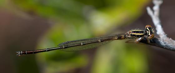 Okefenokee damsel - Enallagma concisum - male