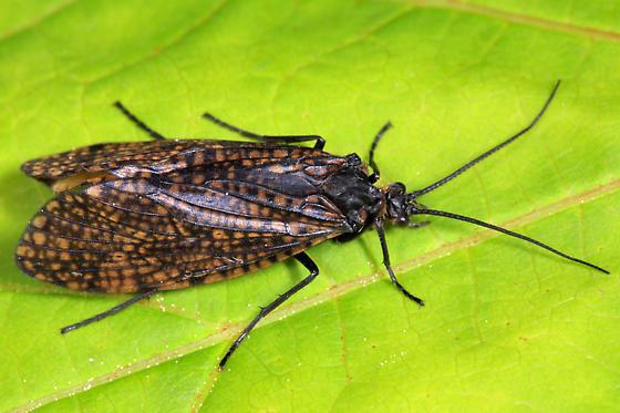 Caddisfly - Oligostomis ocelligera