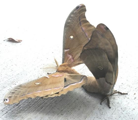Polyphemus mating pair  - Antheraea polyphemus - male - female