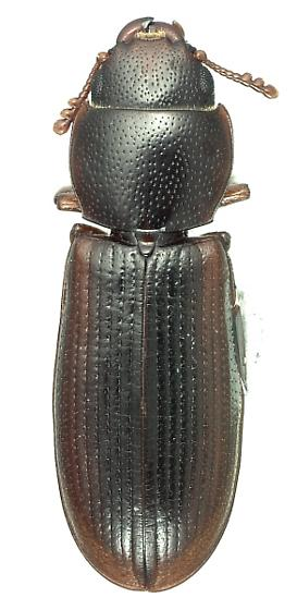Tenebroides marginatus (Palisot de Beauvois) - Tenebroides marginatus