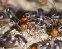 bark lice - Cerastipsocus trifasciatus