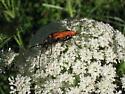 Long Horn Beetle - Stenelytrana gigas