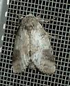 UNKNOWN Noctuoidea - Lochmaeus manteo