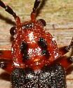 Beetle - Atalantycha bilineata